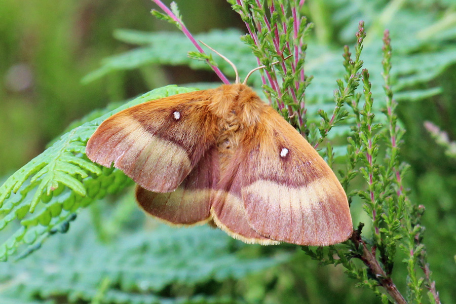 A female Norther Eggar moth seen in June