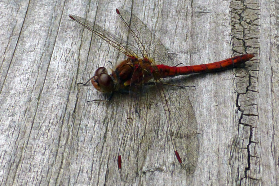 The Alphabet Trail is a great place for dragonfly stalking