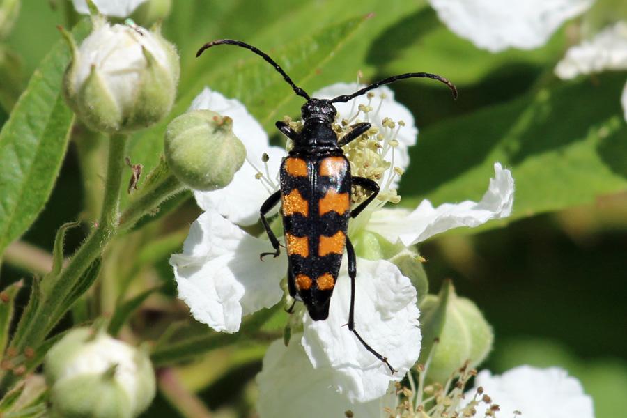 A Longhorn beetle, Leptura quadrifasciata (aka Strangalia quadrifasciata) in June
