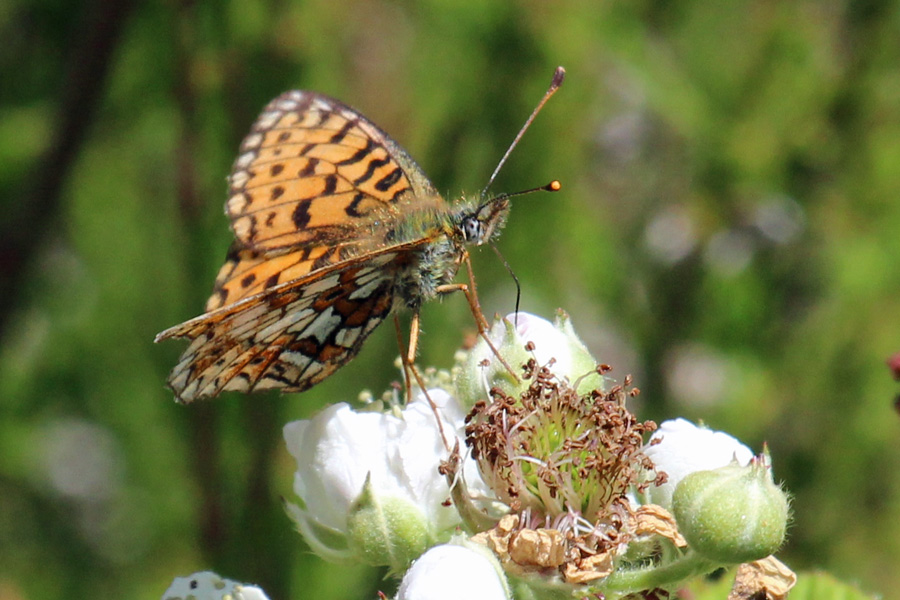 Small Pearl bordered fritillary on The Alphabet Trail