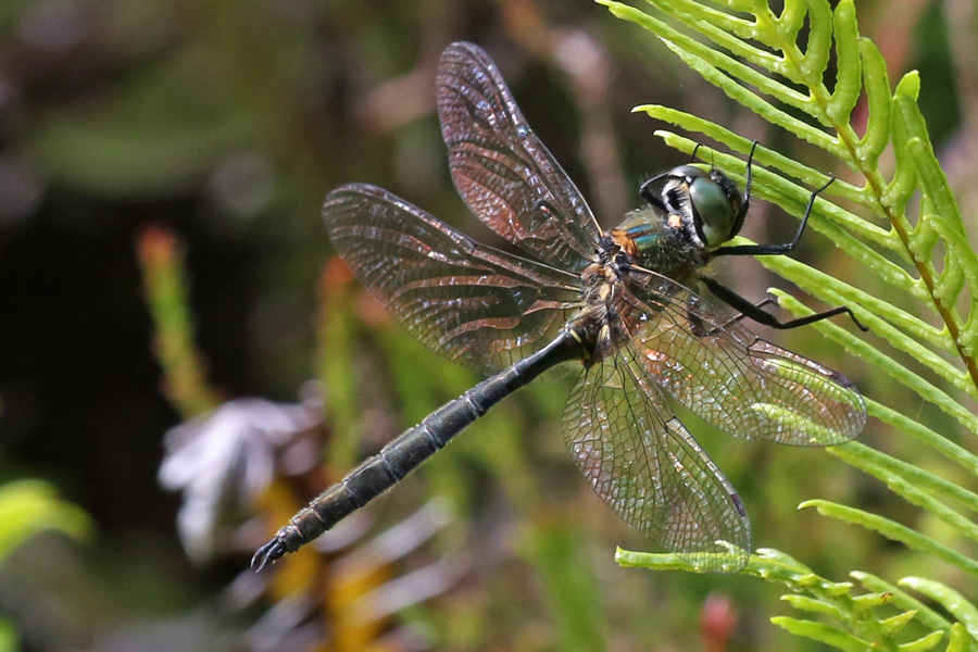 Northern Emerald dragonfly on the Alphabet Trail in July