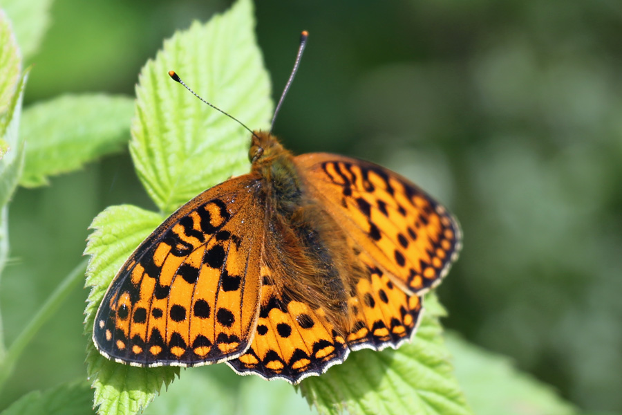 Dark green fritillary on the Alphabet Trail in July