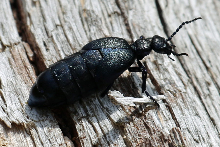 Oil beetle on the Alphabet Trail in July