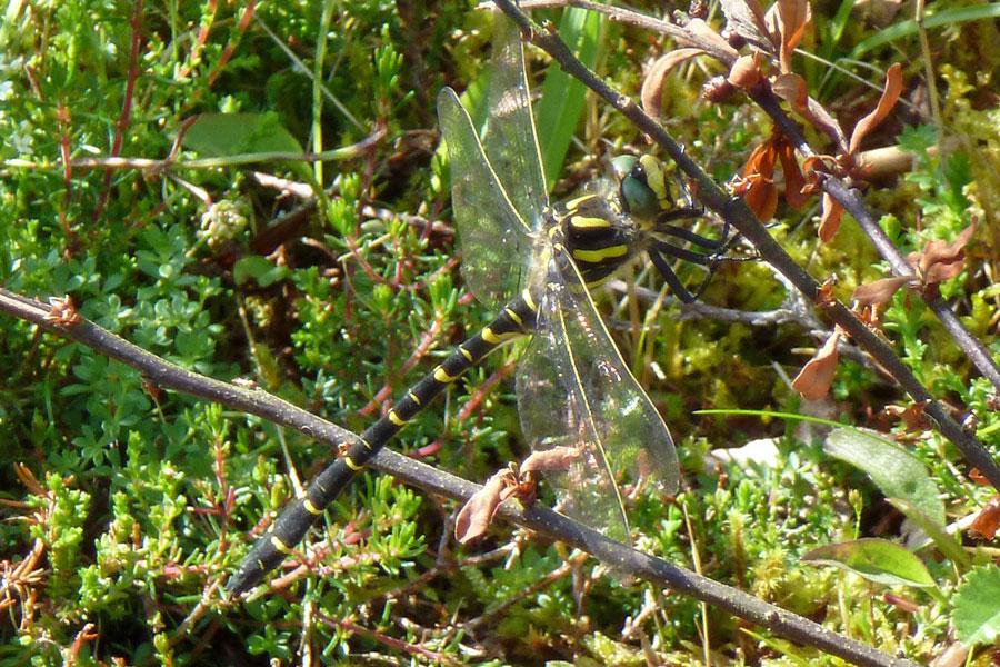 Aoineadh Mor - Golden Ringed Dragonfly