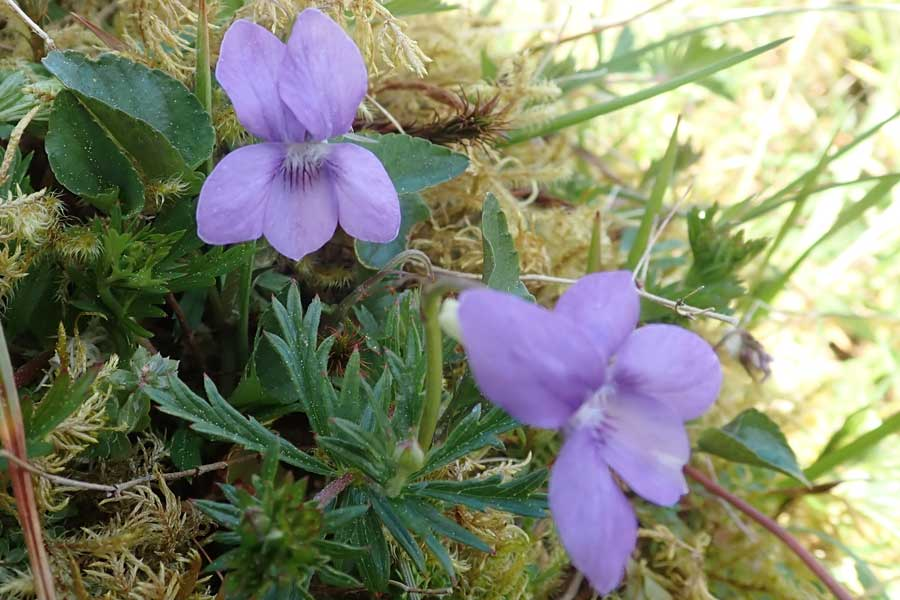 Aoineadh Mor - dog violet