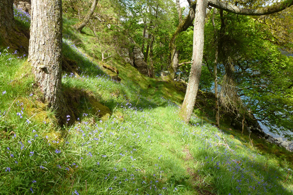 Woods behing Ardtornish Castle carpeted with bluebells in May