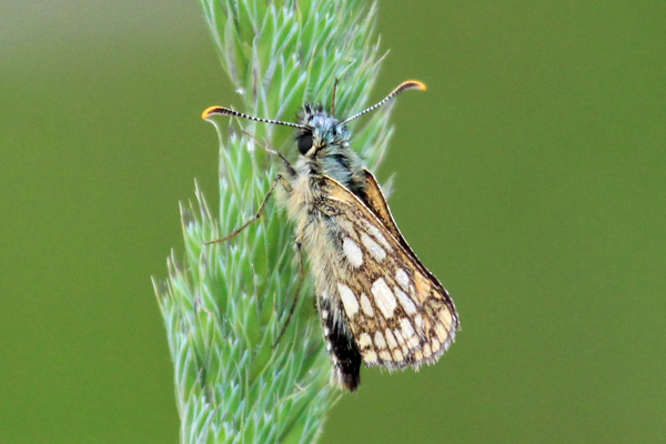 Chequered skipper butterfly by the track from the car park to the woods
