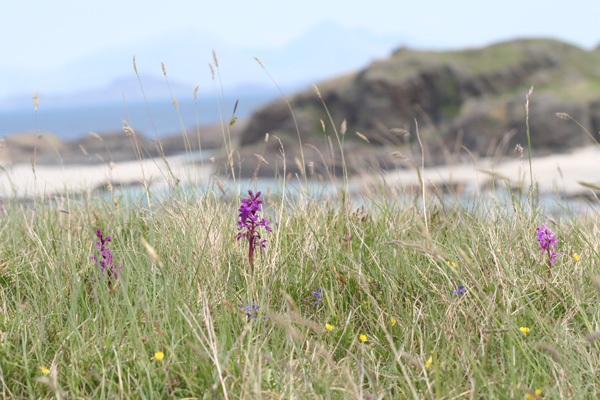 Orchids in the sand dunes behind Bay MacNeil
