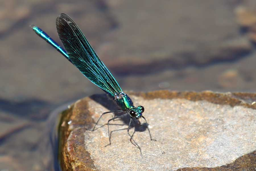 A Beautiful Demoiselle damselfly at Bourblaige