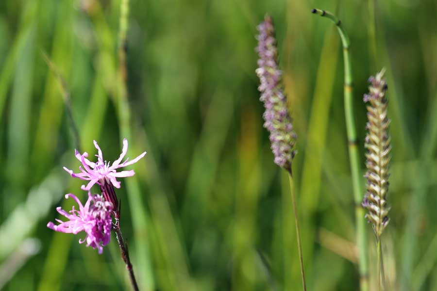 ragged robin at Bourblaige