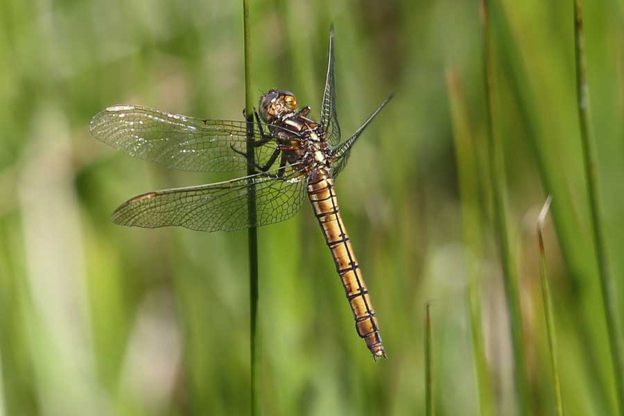 female keeled skimmer dragonfly in the damp grassland at Bourblaige