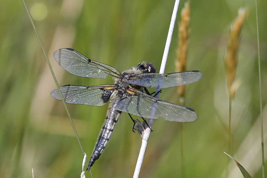 a four spotted chaser dragonfly at Bourblaige