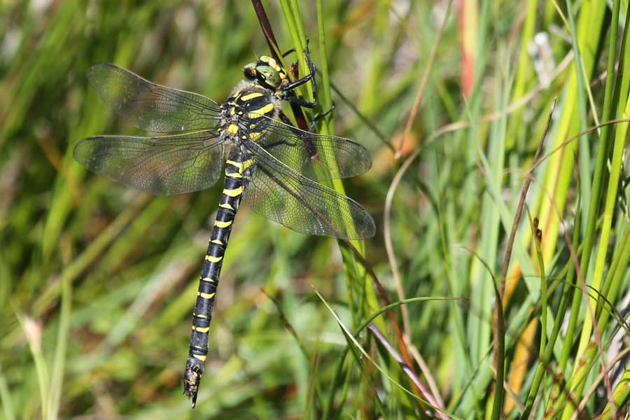 golden ringed dragonfly at Bourblaige