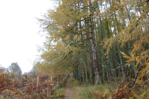 The path skirting a larch plantation