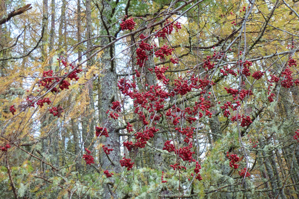 Rowan berries- a good food source for blackbirds, redwings and fieldfares