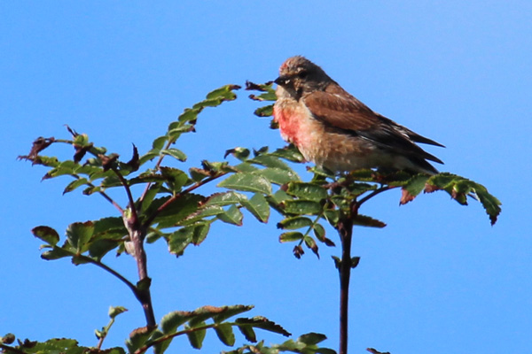 A linnet in the dunes