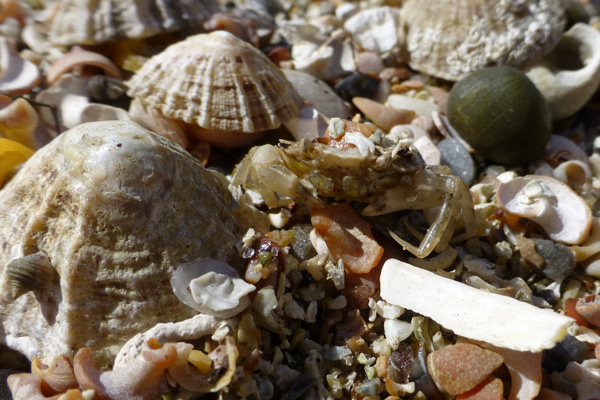 A little crab amongst the shells