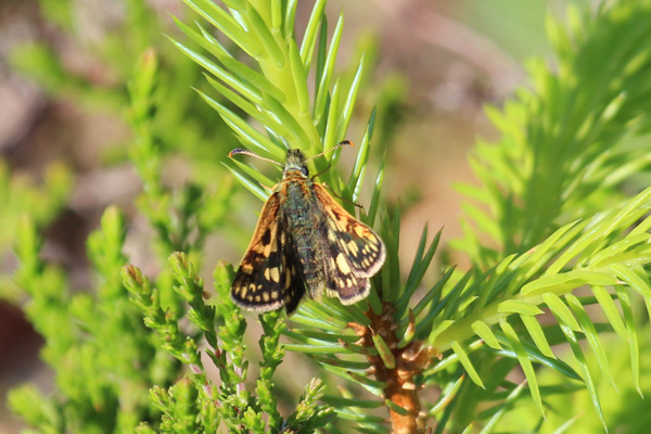 Chequered skipper awaiting a mate