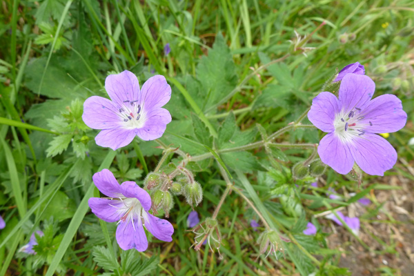 Wood cranesbill (Geranium sylvaticum) in regenerating birch woodland