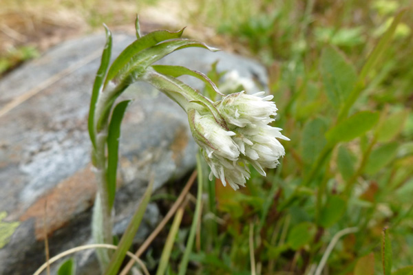 Mountain everlasting (Antennaria dioica)