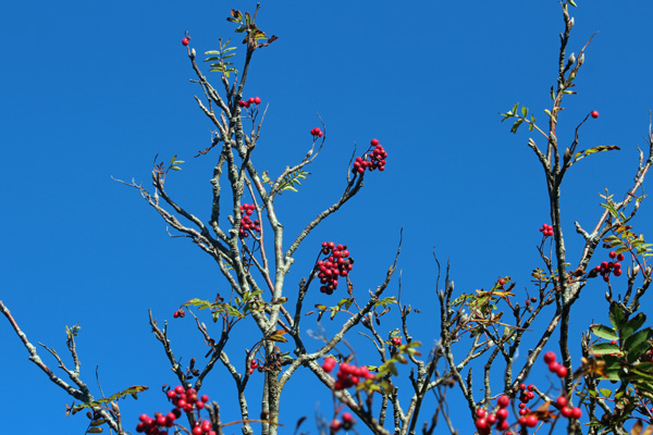 Red rowan berries in the autumn