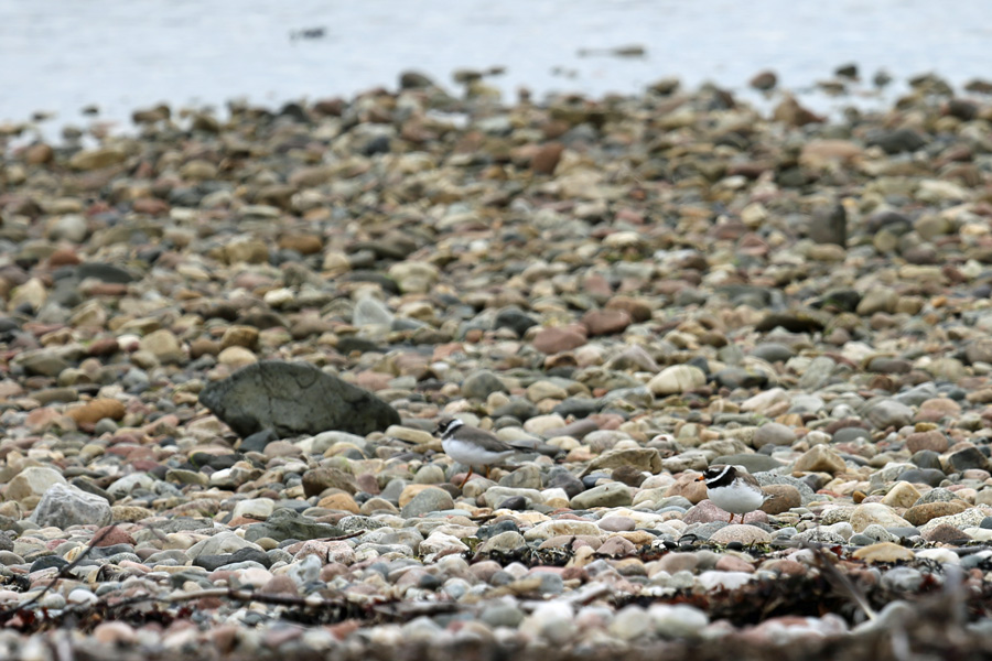 Ringed plovers on the shingle beach at Cuil Bay