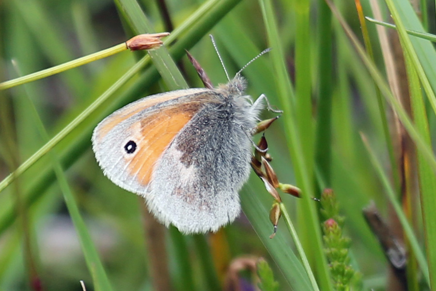 Small heath butterfly in July