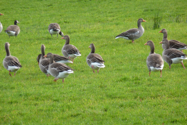 Grey Lag Geese in the fields at Dalilea