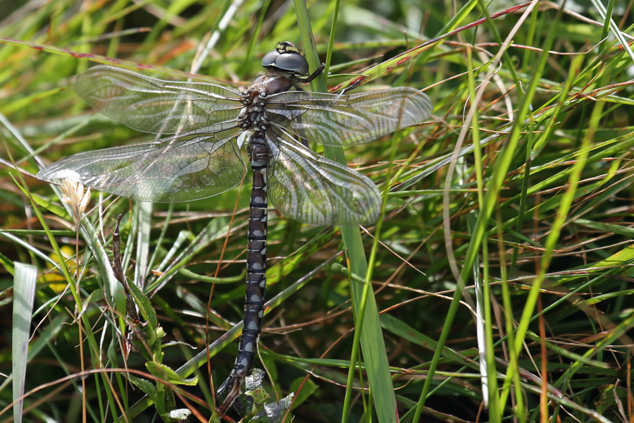A Common Hawker dragonfly at the top of Dun Deardail