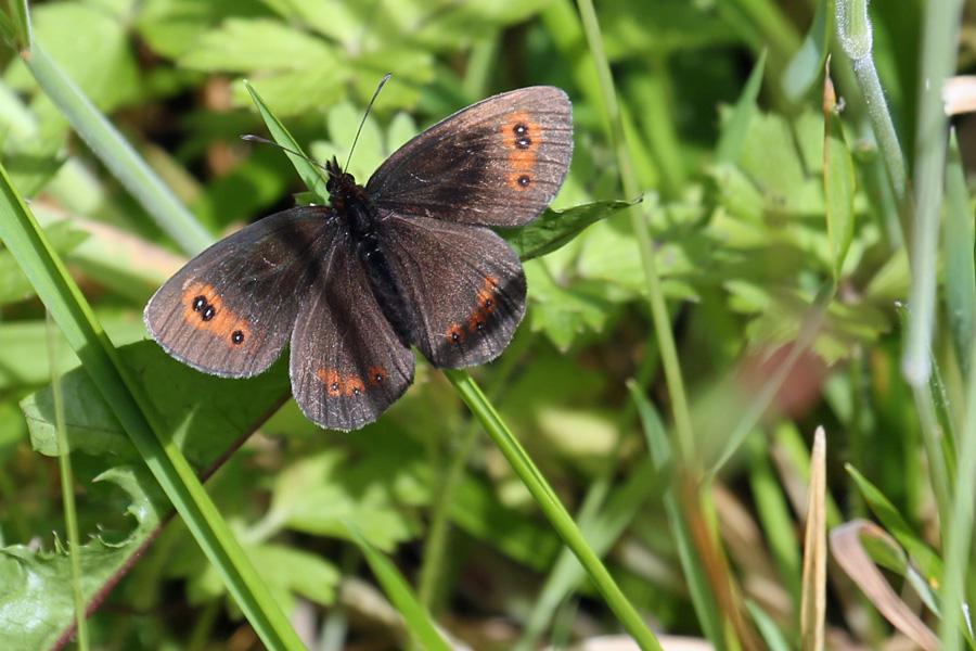 Scotch Argus butterfly seen on route to Dun Deardail
