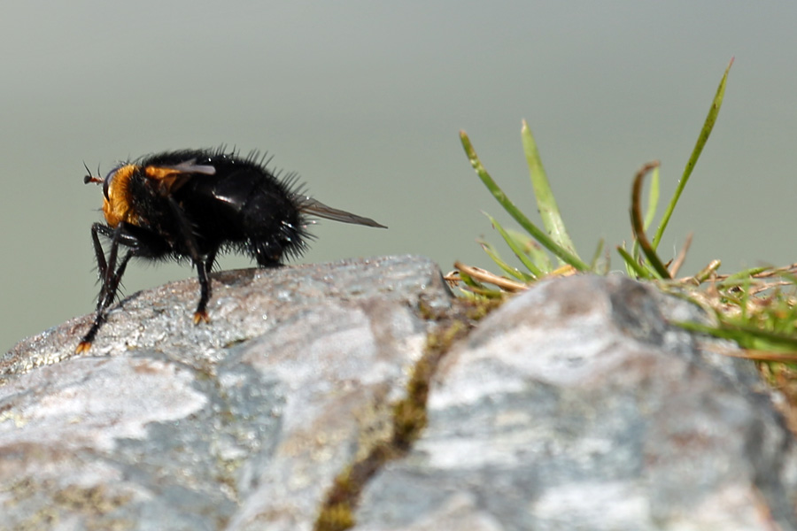 A tachinid fly at Dun Deardail