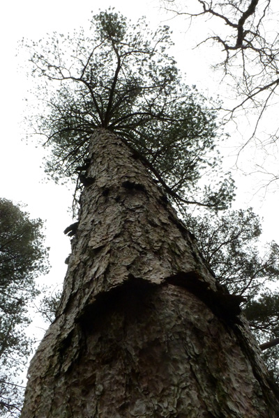 Reaching for the skies - a mature scots pine