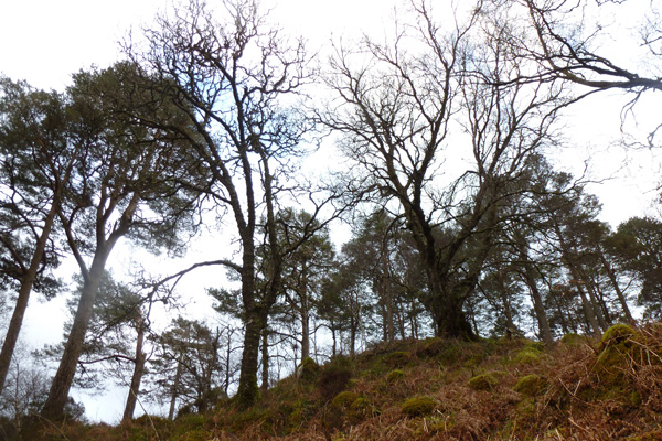 magnificant Atlantic Oak and Scots Pine
