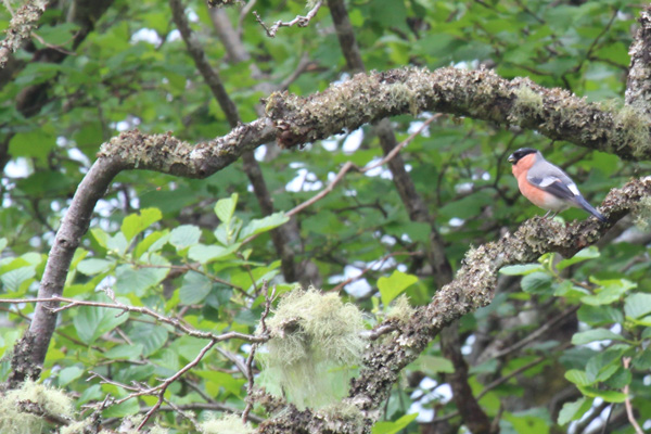 A male bullfinch in the oak woodland