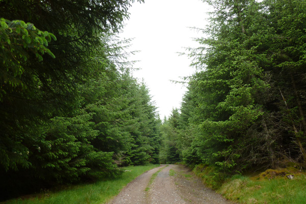 The forest track through coniferous plantation