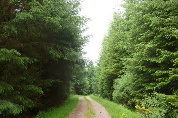 The track continues through mature coniferous forest
