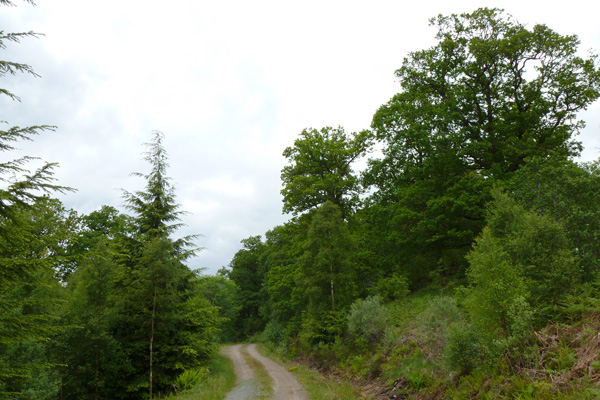 The track eventually leads to the edge of the ancient oak woodland