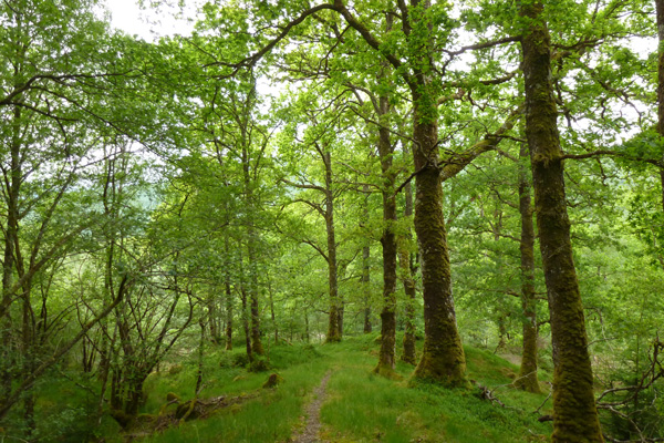 The track through the ancient oak woodland in Glen Loy