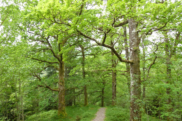 The mature oak woodland in Glen Loy