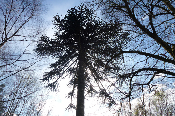 A specimen monkey puzzle tree in the community woodland