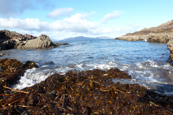 Kelp on the tide line at Port Eigin-aig on the Ardnamurchan peninsula