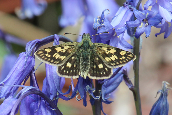 Chequered skipper at Glasdrum National Nature Reserve
