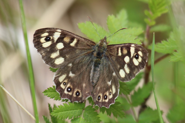 Speckled wood at Glasdrum Wood