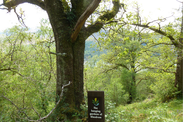 The magnificient oak by the sign for the Hanging Gardens of Glasdrum