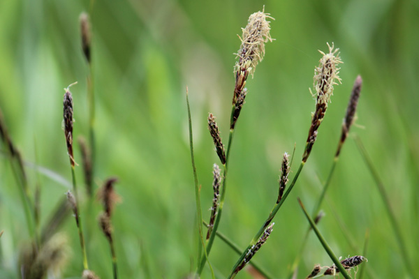 Common sedge (Carex nigra) in the wetter areas