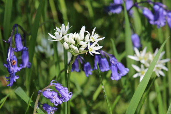 Bluebells and ramsons