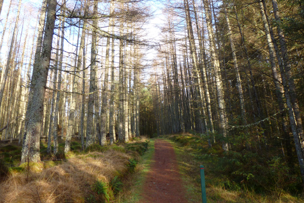 The path ascending intially through larch plantation, Glen Righ Wood