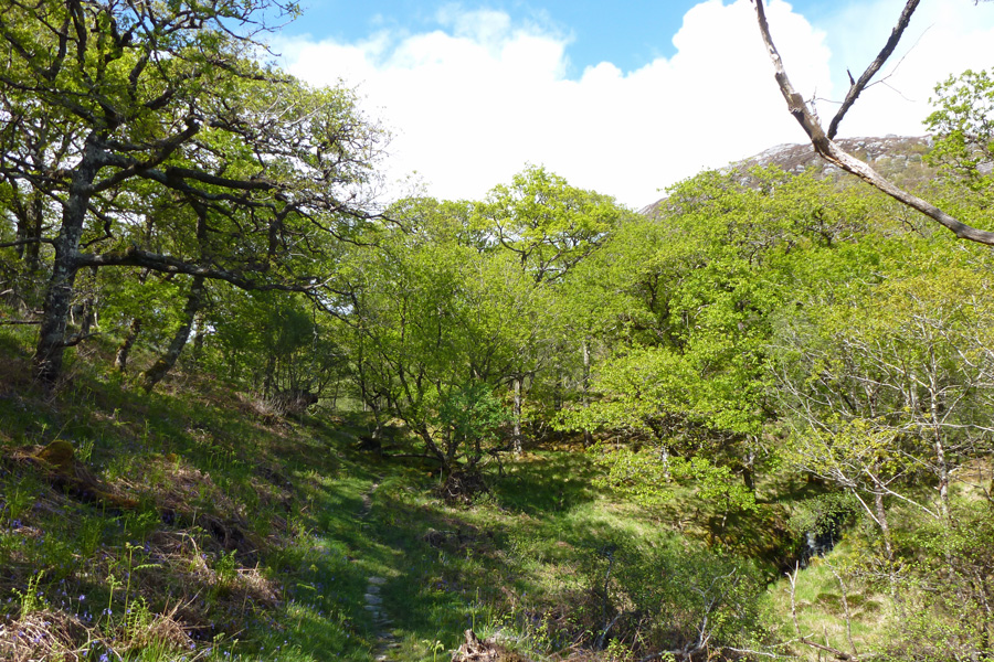 The old Oakwood at the start of the RSPB Glenborrodale walk