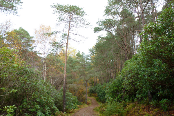 The path heading through Scots pine forest