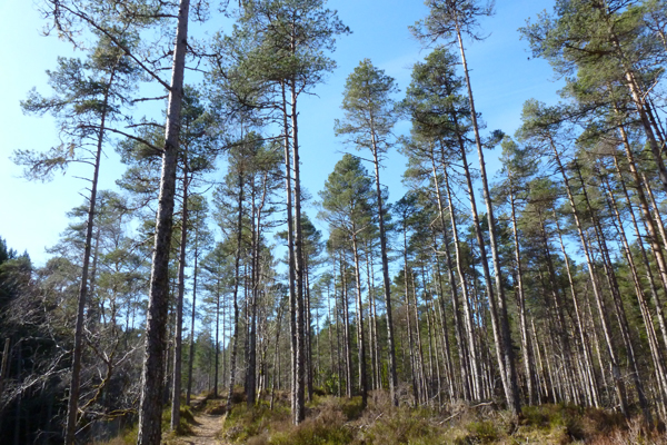 Glen Garry Pinewoods